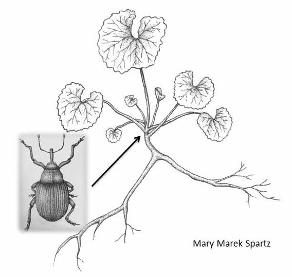 Drawing of garlic mustard and weevil.